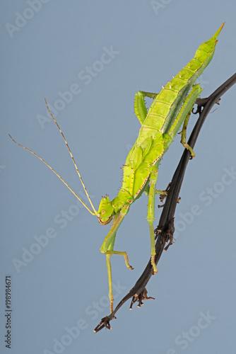 Samica dżungli Nimfa Stick Owad (Heteropteryx dilatata) / Malezyjski owad Stick na tropikalnej roślin