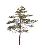 Pine tree isolated on white background - 198993817
