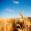 Champ de blé en été avant les moissons
