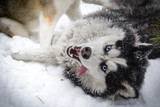 Siberian husky playing in the winter forest