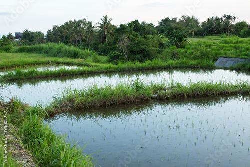 Keuken foto achterwand Bali Rice fields on Bali island, Indonesia.