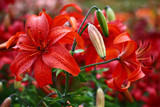 Red lily./A considerable quantity of the Asian lilies create a motley background for a bright red lily.
