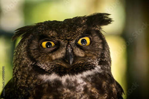 Great Horned Owl is Confused
