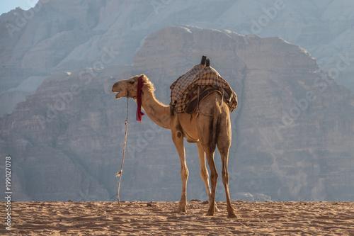 Fototapeta Camel in Wadi Rum desert at dusk