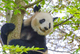 Fototapeta A giant panda is sitting on a tree in China .