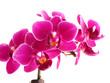 Pink mini phalaenopsis orchids on white background