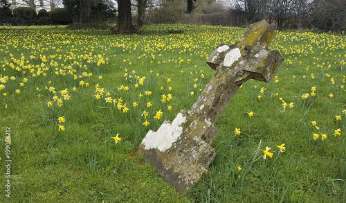 Daffodil pola i lasy w Dymock Gloucestershire w Anglii