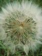 wild salsify.  species of Tragopogon.  Large Dandelion
