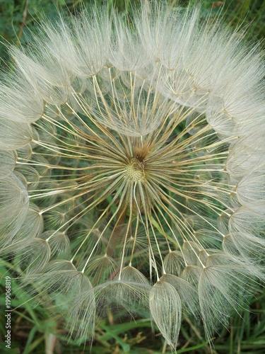 wild salsify.  species of Tragopogon.  Large Dandelion - 199068819