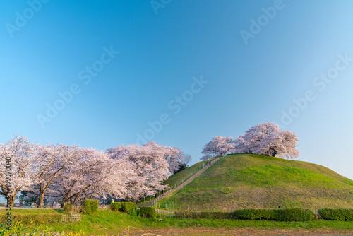 In de dag Blauwe jeans 【埼玉】さきたま古墳の桜