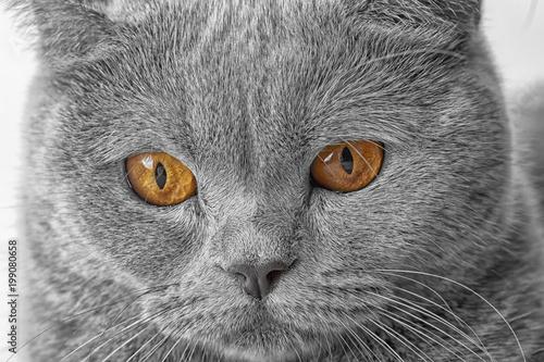 Kaganiec piękny brytyjski kot z bliska