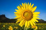 sunflower feild with mountain