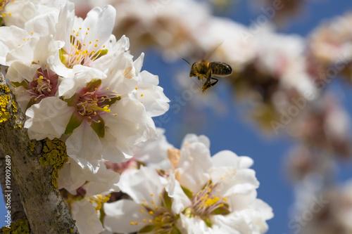 Plexiglas Bee Abeja en vuelo flor de almendro