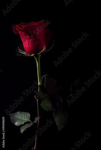 Rosa Rossa Su Sfondo Nero Con Luce Di Taglio Buy Photos Ap