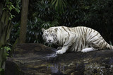 Tiger in a jungle. White Bengal tiger on tree trunk with forest on background