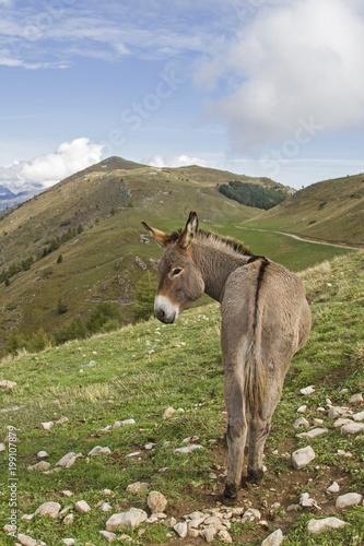 Osły na górskiej łące w Trentino