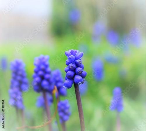 Fotobehang Lavendel fleur