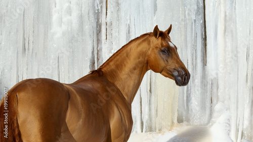 Fotobehang Paarden Red horse look back in winter on white iced snowy background isolated