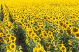 Big sunflower field