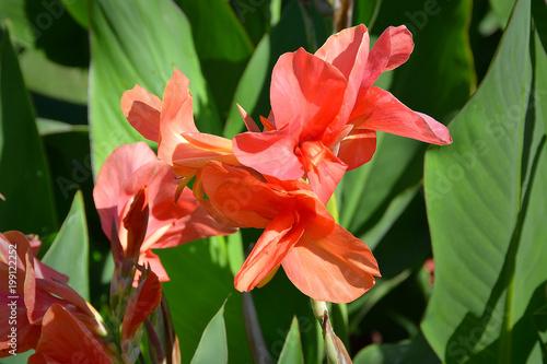 Scarlet Canna flower - 199122252