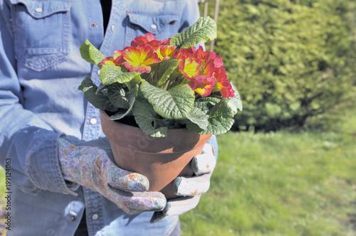 Foto Murales close on flower pot holding by a gardener in a garden