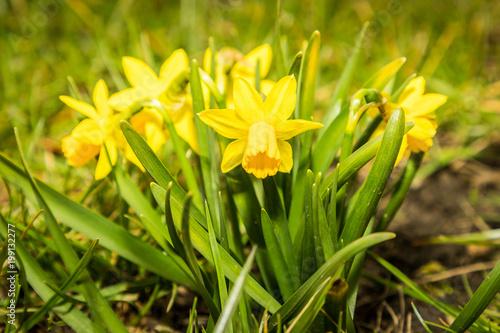 Żonkile w naturze na wiosnę