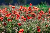 Idyllisch - leuchtet rote Mohnblüten im Gegenlicht, Hintergrund