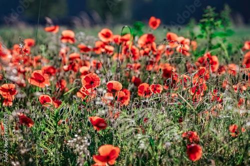 Foto op Aluminium Klaprozen Idyllisch - leuchtet rote Mohnblüten im Gegenlicht, Hintergrund