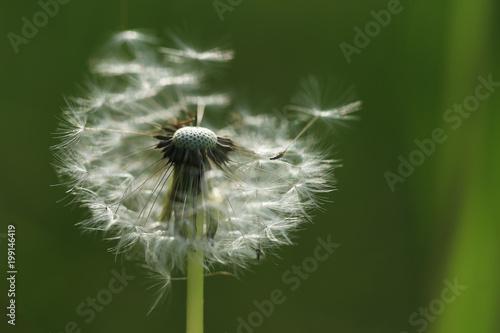 Fotobehang Paardenbloemen White fluffy dandelion close-up