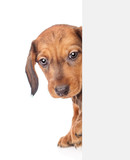 dachshund puppy behind white banner. isolated on white background. Space for text