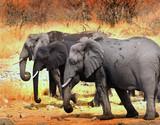 Three African Elephants (African Loxodonta) walking through the dry yellow bush in Hwange National Park, Zimbabwe