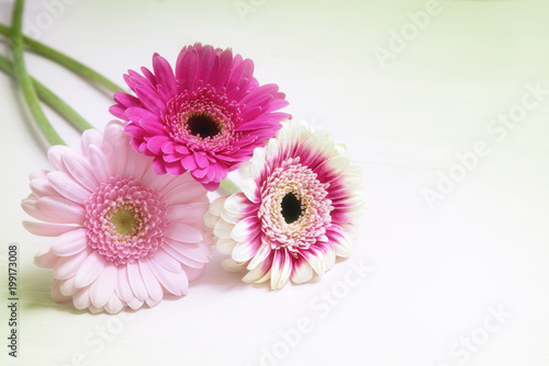 Fotobehang Gerbera three gerbera flowers in pink and white on a bright background with copy space, greeting card for valentine's or mother's day with copy space