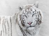 Thoughtful white tiger