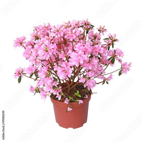 Canvas Azalea Azalée japonaise rose en pot