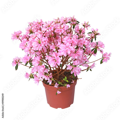 In de dag Azalea Azalée japonaise rose en pot