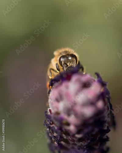 Plexiglas Bee Honey bee on a purple lavender flower in a field