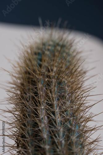 Fotobehang Paardenbloemen Macro shot of cactus spike, close up shot of cactus