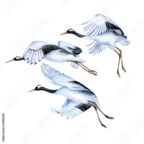 Flying japanese cranes isolated on white background. Red-crowned crane. Flying birds. Watercolor. Illustration. Template © Yuliia