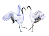 The Japanese crane. Red-crowned crane. A loving couple dancing birds isolated on white background. Watercolor. Illustration. Template. Handmade