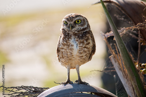 Photo Burrowing Owl looking