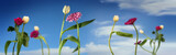Dancing flowers, white tulips and pink gerbera dance together on a spring or summer party, 1st of May concept, blue sky with clouds, wide panoramic banner format - 199203275
