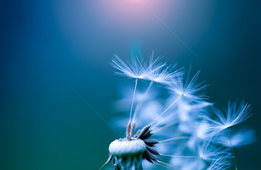 art photo of dandelion close-up on blue background © as_trofey