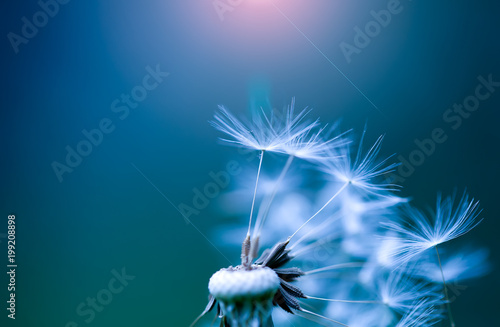 art photo of dandelion close-up on blue background - 199208898