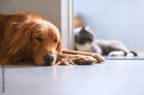 The Golden Retriever and the British short hair cat lying on the ground