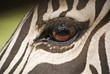 Detalle del ojo de una cebra adulta