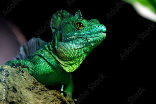 green iguana  close up portrait looking at you
