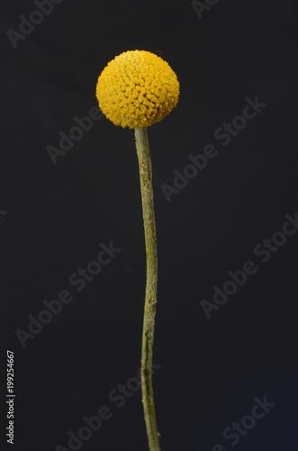 Plexiglas Paardenbloemen Yellowe craspedia flower for background