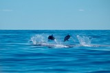 Fototapeta A pair of striped dolphins traveling at speed