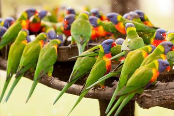 Rainbow Lorikeets Feeding