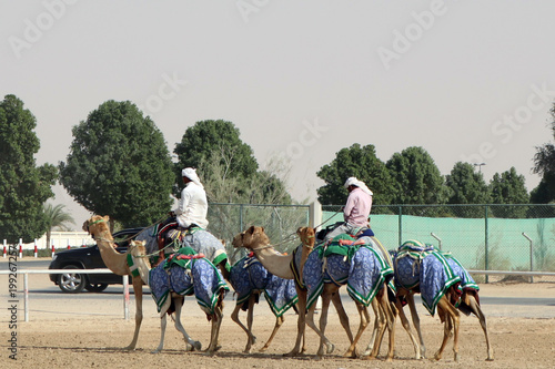 Fotobehang Kameel Camel drivers. Dubai. Training camels before the competition.